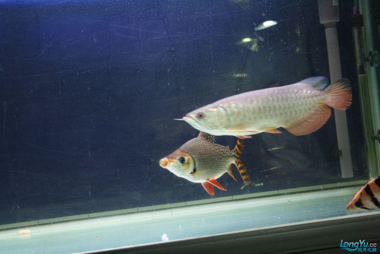 【西安哪个水族馆有金龙】升级版龙虎斗! 西安观赏鱼信息 西安博特第9张