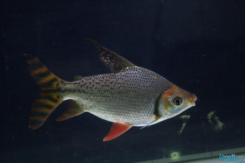 【西安哪个水族馆有金龙】升级版龙虎斗! 西安观赏鱼信息 西安博特第12张