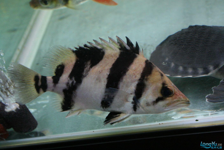 【西安哪个水族馆有金龙】升级版龙虎斗! 西安观赏鱼信息 西安博特第11张