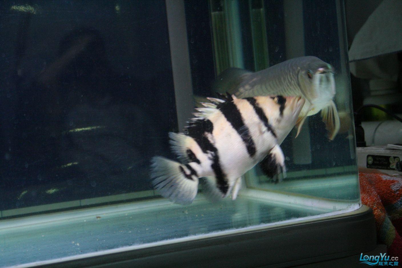 【西安哪个水族馆有金龙】升级版龙虎斗! 西安观赏鱼信息 西安博特第14张