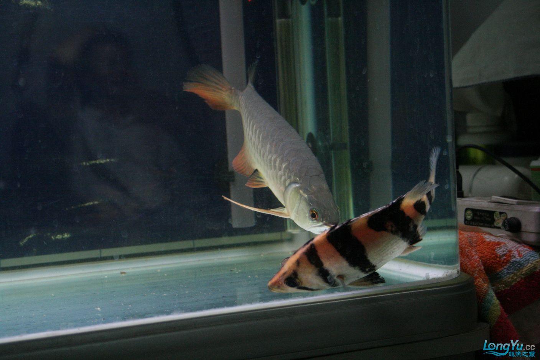 【西安哪个水族馆有金龙】升级版龙虎斗! 西安观赏鱼信息 西安博特第13张