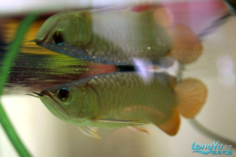 家中的小过,到家3个月了,发图纪念【西安北郊鱼缸批发市场】下~ 西安观赏鱼信息