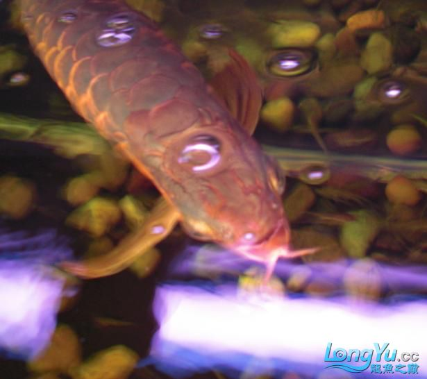 龙头上起包了?求助 西安观赏鱼信息 西安博特第2张