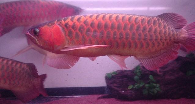 8龙混养你能看出那条是雄鱼吗 西安观赏鱼信息 西安博特第1张