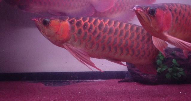 8龙混养你能看出那条是雄鱼吗 西安观赏鱼信息 西安博特第3张