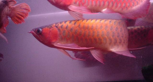 8龙混养你能看出那条是雄鱼吗 西安观赏鱼信息 西安博特第2张