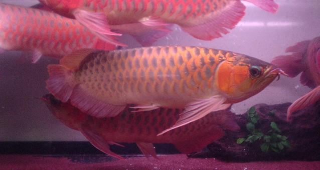 8龙混养你能看出那条是雄鱼吗 西安观赏鱼信息 西安博特第5张