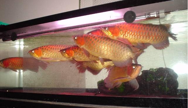 8龙混养你能看出那条是雄鱼吗 西安观赏鱼信息 西安博特第12张