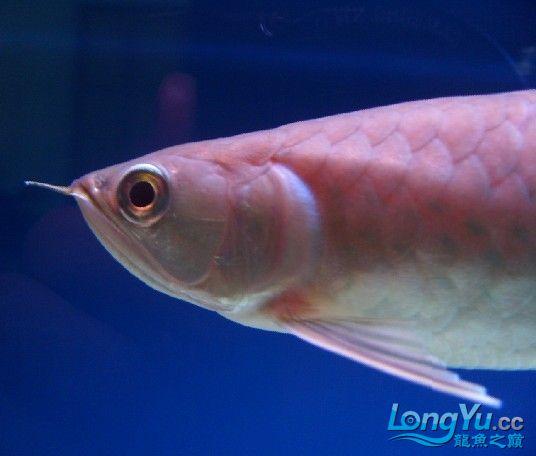 看看这是什么寄生虫【陕西博特总代】 西安观赏鱼信息 西安博特第4张