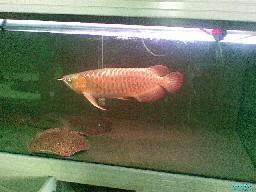 高手的大龙鱼玩家 西安观赏鱼信息 西安博特第2张