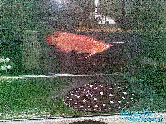 高手的大龙鱼玩家 西安观赏鱼信息 西安博特第5张