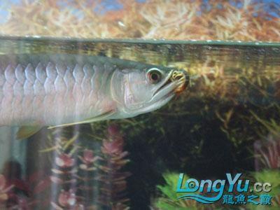 小龙吃蜈蚣 西安观赏鱼信息 西安博特第1张