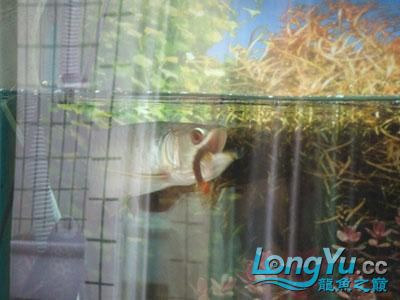 小龙吃蜈蚣 西安观赏鱼信息 西安博特第2张