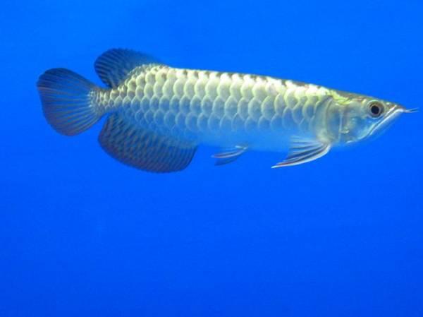 金质很优的小过背 西安观赏鱼信息 西安博特第1张
