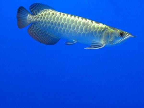金质很优的小过背 西安观赏鱼信息 西安博特第2张