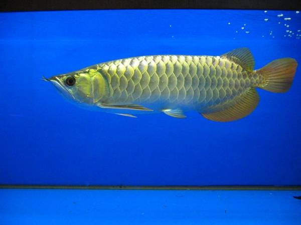 金质很优的小过背 西安观赏鱼信息 西安博特第3张