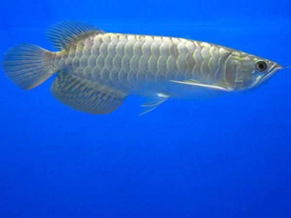 金质很优的小过背 西安观赏鱼信息 西安博特第5张