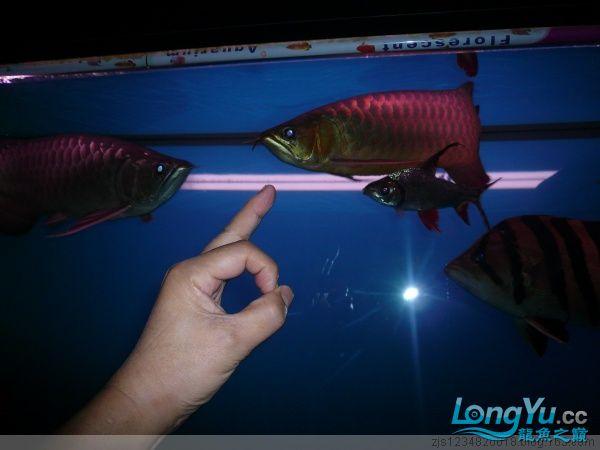 庆祝建国60周年(献三龙混养贴) 西安观赏鱼信息 西安博特第1张
