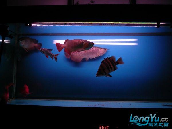庆祝建国60周年(献三龙混养贴) 西安观赏鱼信息 西安博特第3张