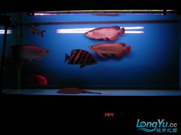 庆祝建国60周年(献三龙混养贴) 西安观赏鱼信息 西安博特第4张