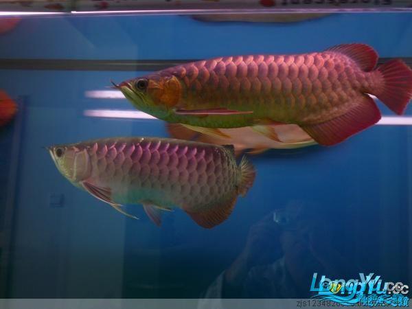 庆祝建国60周年(献三龙混养贴) 西安观赏鱼信息 西安博特第2张