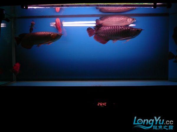 庆祝建国60周年(献三龙混养贴) 西安观赏鱼信息 西安博特第6张