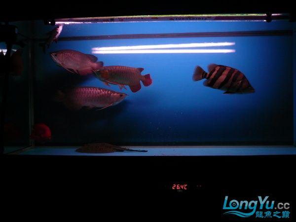 庆祝建国60周年(献三龙混养贴) 西安观赏鱼信息 西安博特第5张