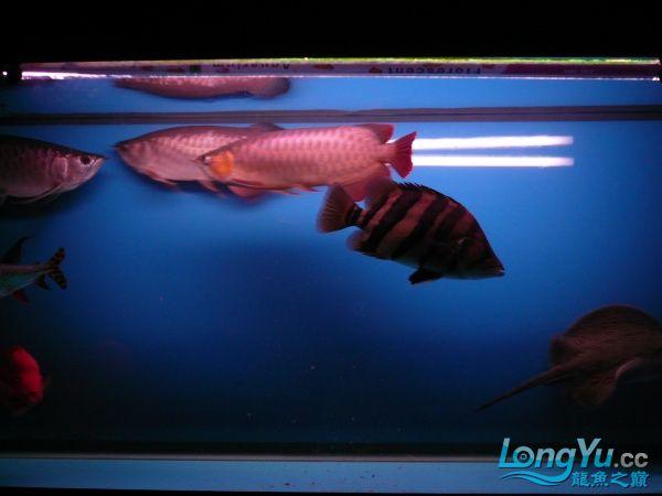 庆祝建国60周年(献三龙混养贴) 西安观赏鱼信息 西安博特第7张