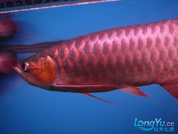 庆祝建国60周年(献三龙混养贴) 西安观赏鱼信息 西安博特第8张