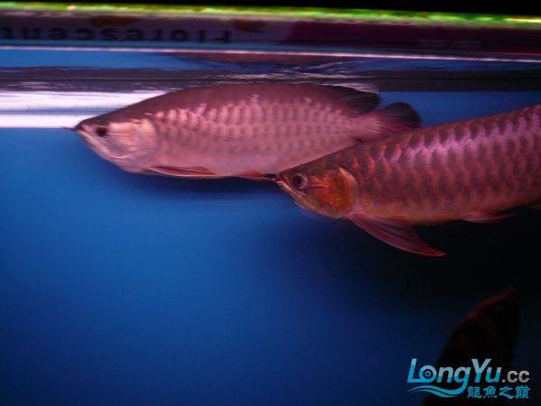 庆祝建国60周年(献三龙混养贴) 西安观赏鱼信息 西安博特第9张