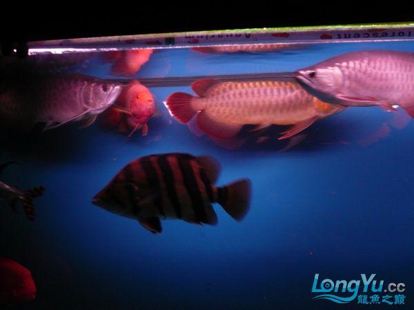 庆祝建国60周年(献三龙混养贴) 西安观赏鱼信息 西安博特第10张