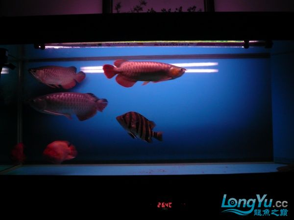 庆祝建国60周年(献三龙混养贴) 西安观赏鱼信息 西安博特第15张