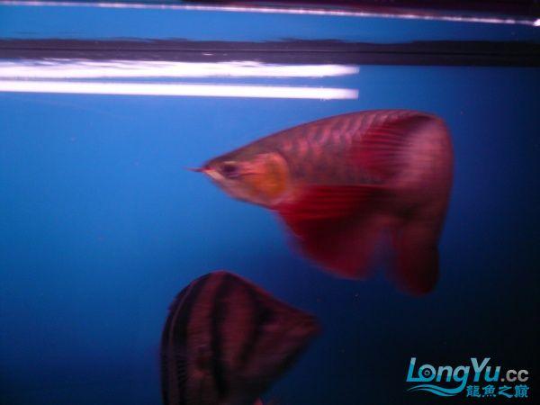 庆祝建国60周年(献三龙混养贴) 西安观赏鱼信息 西安博特第13张