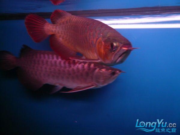 庆祝建国60周年(献三龙混养贴) 西安观赏鱼信息 西安博特第16张