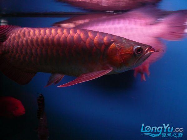 庆祝建国60周年(献三龙混养贴) 西安观赏鱼信息 西安博特第17张