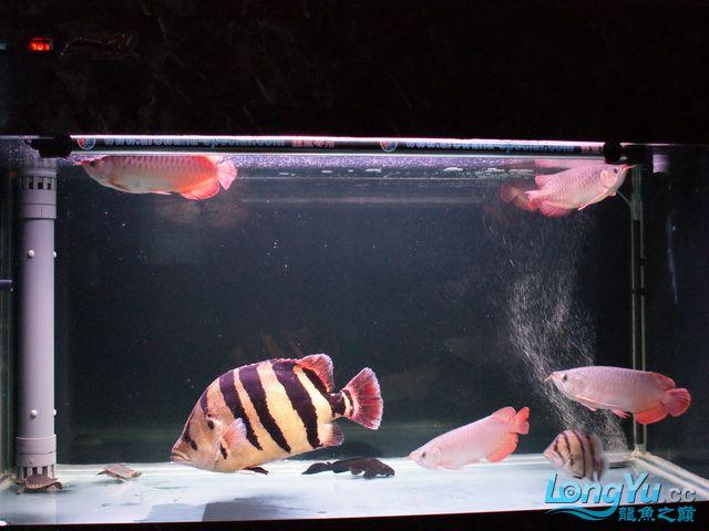 【西安最大水族批发市场】五龙二虎 西安观赏鱼信息 西安博特第1张