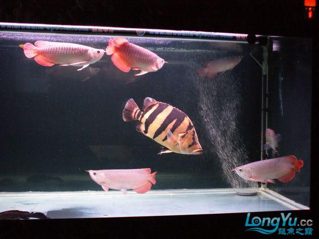 【西安最大水族批发市场】五龙二虎 西安观赏鱼信息 西安博特第4张