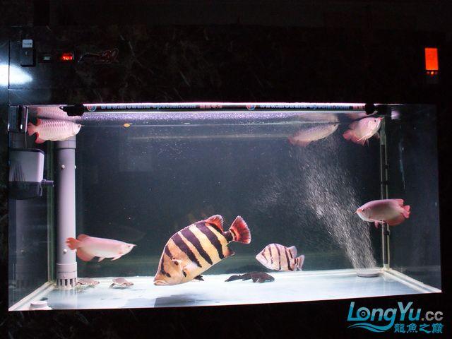 【西安最大水族批发市场】五龙二虎 西安观赏鱼信息 西安博特第2张