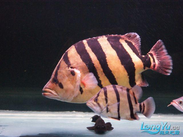 【西安最大水族批发市场】五龙二虎 西安观赏鱼信息 西安博特第3张