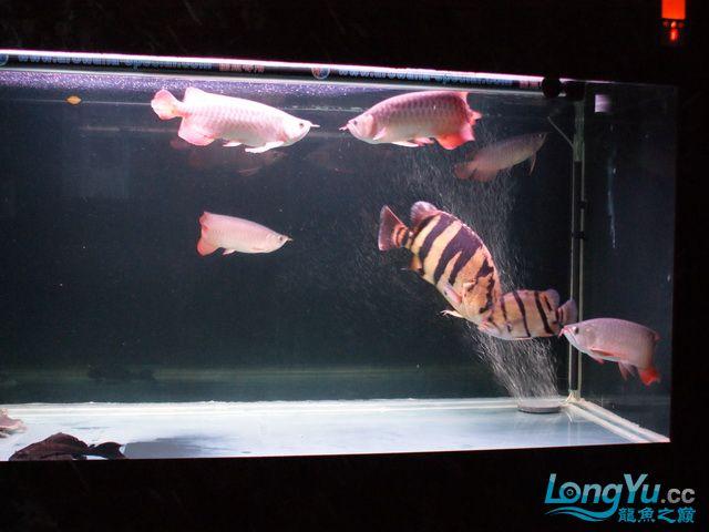 【西安最大水族批发市场】五龙二虎 西安观赏鱼信息 西安博特第6张