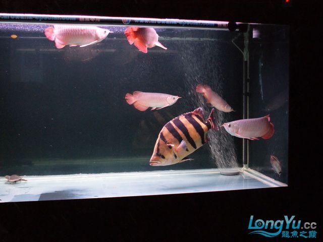 【西安最大水族批发市场】五龙二虎 西安观赏鱼信息 西安博特第7张