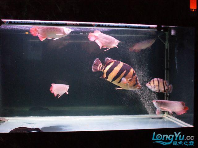 【西安最大水族批发市场】五龙二虎 西安观赏鱼信息 西安博特第5张