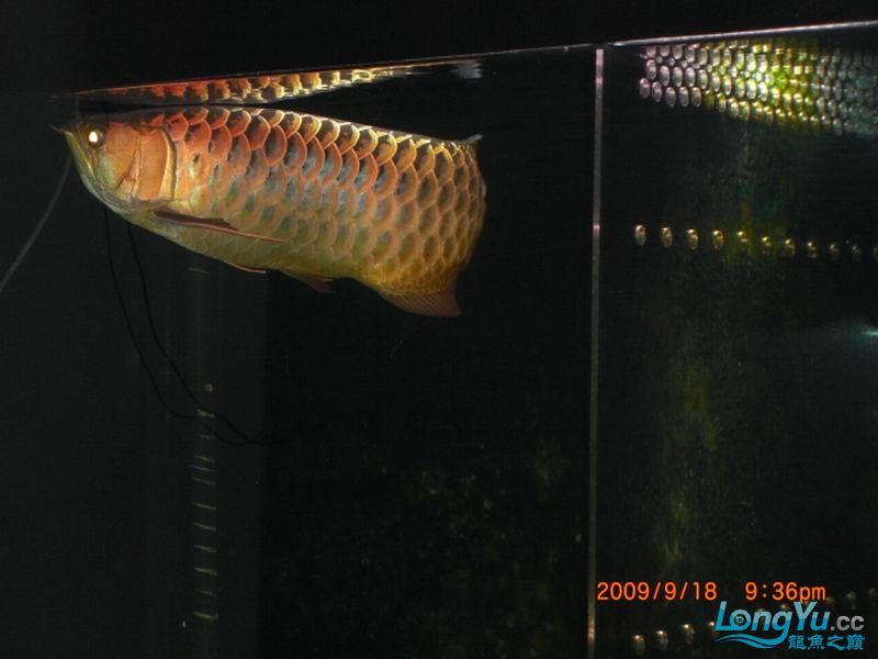 家中老过背,露下脸 西安观赏鱼信息 西安博特第2张