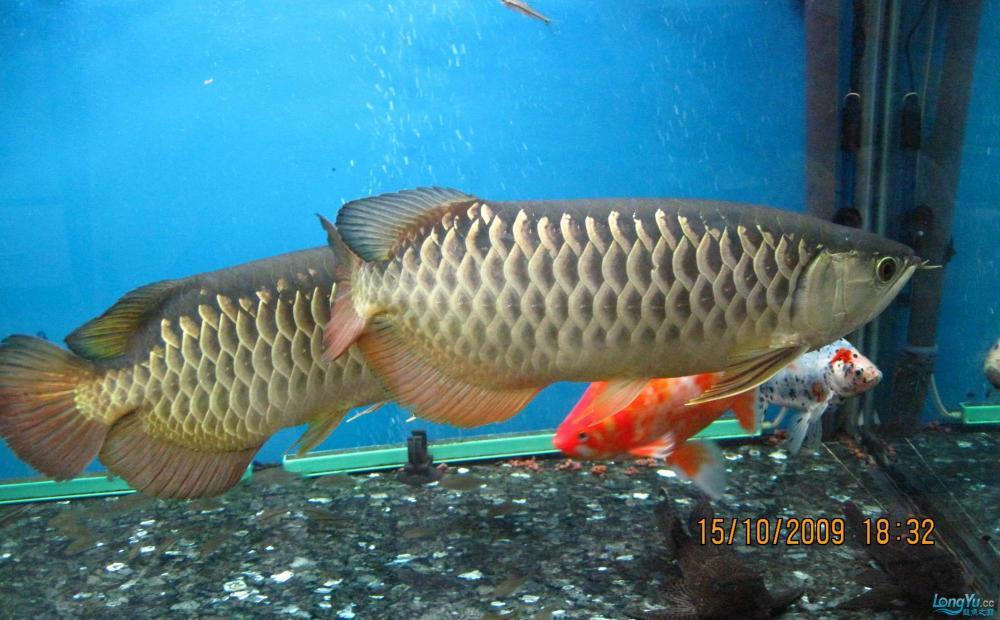 金龙和好红龙两条可以一起混养吗? 西安观赏鱼信息