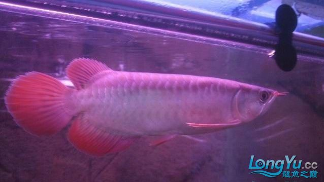 这是什么红龙?【西安哪个水族馆有金龙】 西安观赏鱼信息 西安博特第2张