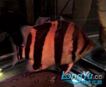 看看我的老虎,两年35了【西安朱雀观赏鱼市场】 西安观赏鱼信息 西安博特第1张