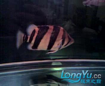 看看我的老虎,两年35了【西安朱雀观赏鱼市场】 西安观赏鱼信息 西安博特第3张