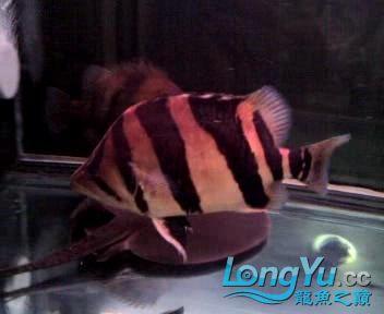 看看我的老虎,两年35了【西安朱雀观赏鱼市场】 西安观赏鱼信息 西安博特第4张