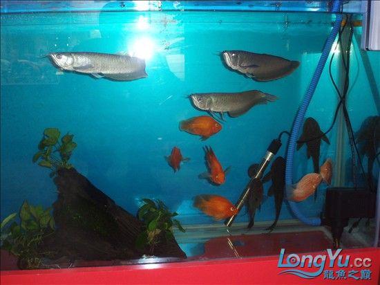 【西安最大的水族市场】请大家评评 刚请的 三条小龙 西安观赏鱼信息 西安博特第1张