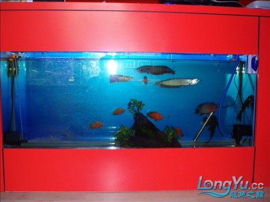 【西安最大的水族市场】请大家评评 刚请的 三条小龙 西安观赏鱼信息 西安博特第3张
